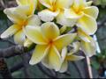 【接木苗予約】プルメリア Sangiam Yellow ベアルート発根苗(巨大輪の黄花品種)【2月25日で予約〆切】