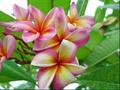 【発根苗予約】プルメリア Tahitian Sunset ベアルート発根苗【2月25日で予約〆切】