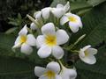 【予約】プルメリア WIllows White カット苗