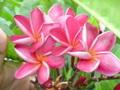 【カット苗予約】プルメリア Hydrangea カット苗【2月25日で予約〆切】