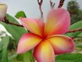 【発根苗予約】プルメリア Polynesian Sunset カット苗ベアルート発根苗【2月25日で予約〆切】