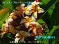 【懸賞つき予約】プルメリア NOID #1 苗(仮称:2017新品種・命名投票権つき)