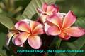 【発根苗予約】プルメリア Fruit Salad Daryl (Official Fruit Sarad) ベアルート発根苗【2月25日で予約〆切】