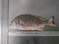 (221)魚種はおまかせ 430円の魚