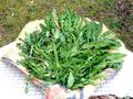 たんぽぽの葉(乾燥)20g