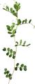 からすのえんどうの葉(乾燥)8g
