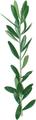 オリーブの葉(乾燥)8g