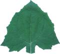 ヤーコンの葉(乾燥)20g
