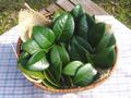 つばきの葉(乾燥)8g