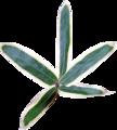 くまざさの葉(乾燥)8g
