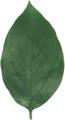 かきの葉(乾燥)8g