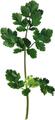 [ハーブシリーズ] パクチー(コリアンダー)の葉(乾燥)5g