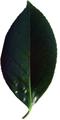 つばきの葉(乾燥)20g