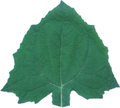 ヤーコンの葉(乾燥)8g