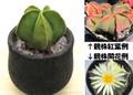サボテン:紅葉ヘキルリランポー玉(A・実生選抜苗・鉢植え・クリスタルヴァージョン)