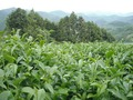 玉蘭 40g<緑茶>