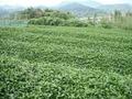 藤かおり 50g<緑茶>