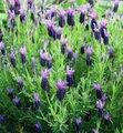 トスエカスラベンダー(紫花)/10~12cmポット