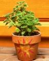 アロマティカin太陽の鉢/3号鉢