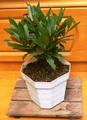 月桂樹3年苗