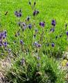 レースラベンダー(青紫花)