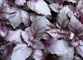 バジル 紫/9~10.5cmポット