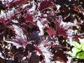 バジル 紫ラッフル/9~10.5cmポット