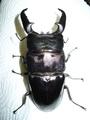 KL525血統 2012.07.10羽化 0101 パラワンオオヒラタ