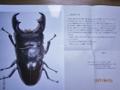 2017.06.14羽化 0101 マリンドッケオオヒラタ カンアット産