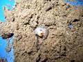 サマールヒラタ 菌糸プリンカップ入り初令幼虫6頭セット