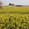 種子島茶 「松寿」(しょうじゅ)
