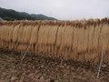 信州佐久のコシヒカリ 長寿米 5kg