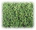 山椒の実「枝・葉取り処理済」500グラム