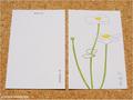 postcard 秋明菊