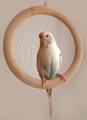鳥に優しい 木製ブランコ (大) [59g]