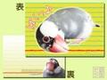 ポストカード文鳥6