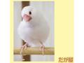 ポストカード 白文鳥<2>