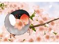 ポストカード さくらサクラ桜文鳥