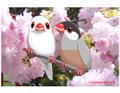 ポストカード 桜