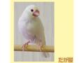 ポストカード 白文鳥<1>