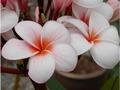 【3月上旬より発送】プルメリアのベアルート発根苗 'Cherry Pink' 栽培セット(希少種・スリット鉢・プルメリア専用培養土つき・Premium品種)