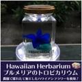 【ハワイアンなハーバリウム】プルメリアのTROPICARIUM(花色:サムライブルー・スクエアボトル) 農園特製のプリザーブドフラワー使用