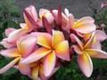 【数量限定・3月中旬頃より発送】入手が難しい名花品種が復活! プルメリアのベアルート発根苗 'Pretty Princess' 栽培セット(スリット鉢・プルメリア専用培養土つき)