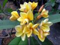 【国産カット苗】2本限定! 薔薇の香りの巨大輪プルメリア 'Vera Cruz Rose' カット苗 (4月上旬頃より発送・受注生産・発根促進処理済み苗をお届け)
