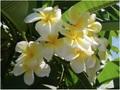 【3月上旬より発送】プルメリアのベアルート発根苗 'Celadine' 栽培セット(スリット鉢・プルメリア専用培養土つき・Premium品種)