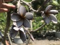 【1鉢限定】激レアな芳香種! グレーの花を咲かせるプルメリア 'Seedling Sa-ngiam #5 Nui' 接ぎ木苗(輸入苗を国内で接ぎ木)【7月中旬以降発送】
