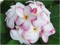 プルメリアのベアルート発根苗 'My Valentine' 栽培セット(バラの香り・米国の名花・スリット鉢・プルメリア専用培養土つき・Premium品種)