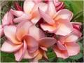 プルメリアのベアルート発根苗 'Irma #7' 栽培セット(希少品種・スリット鉢・プルメリア専用培養土つき・Premium品種)