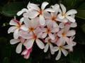 プルメリアのベアルート発根苗 'Dwarf Singapore Pink' 栽培セット(スリット鉢・プルメリア専用培養土つき・Premium品種)