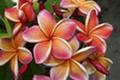 プルメリアのベアルート発根苗 'Penang Peach' 栽培セット(コンパクト種・スリット鉢・プルメリア専用培養土つき)
